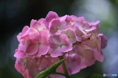山に咲く紫陽花