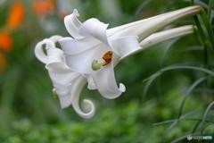 花便り タカサゴユリ2