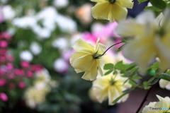 薔薇の季節④