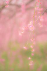 春の歌 〜枝垂〜