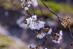 桜日和の午後Ⅱ