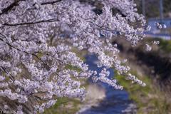 桜日和の午後