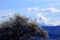 白梅と富士山