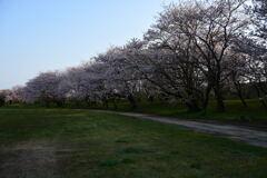宮川堤と桜