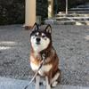 芝犬と神社