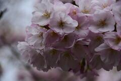 吉野 八重桜