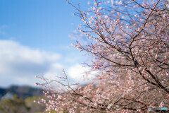 1月の「10月桜」
