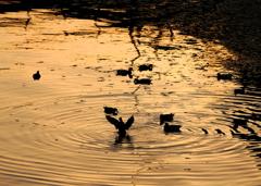 夕日の浜で鴨が舞う