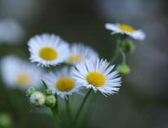 いつも心に野の花を