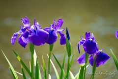 肥後六花のひとつ