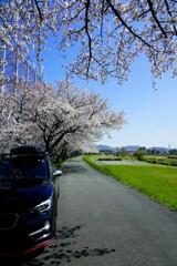 桜とLevo