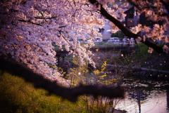 桜2020⑤