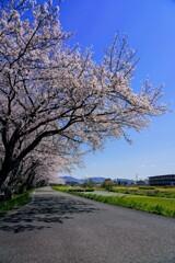 桜2020⑥
