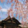 醍醐の桜③