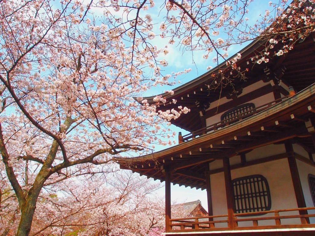 勧修寺 桜②