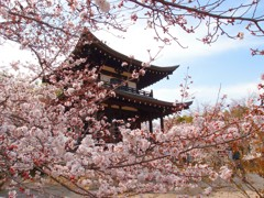 勧修寺 桜