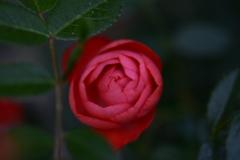 薔薇2017