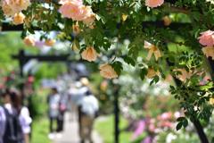 豊科近代美術館 公園 バラ