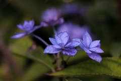 秋桜と紫陽花