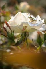 バラの上で