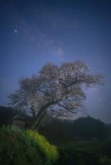 霧中の一本桜