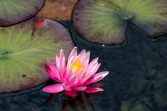 睡蓮~モネの池~