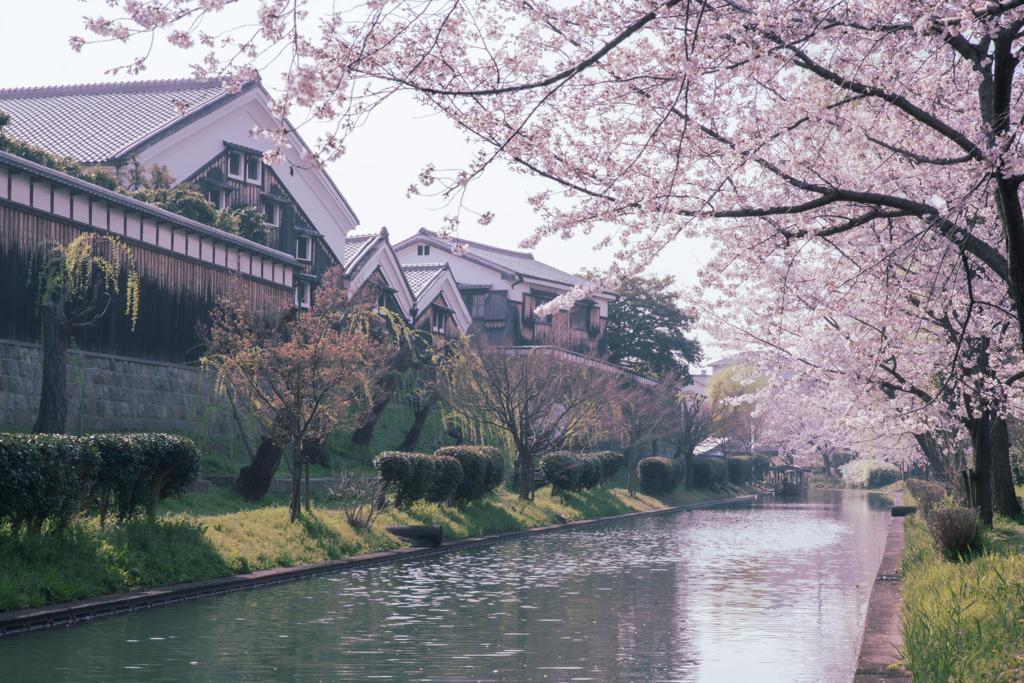 京都伏見 酒蔵と桜