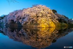 彦根城 桜満開 その2