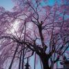 樹齢150年のしだれ桜