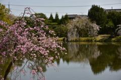 衆楽園の桜