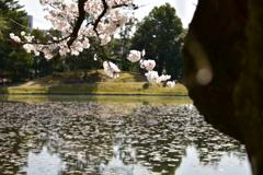 衆楽園のハスと桜