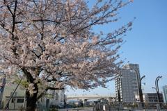桜と新幹線4
