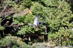 身近な鳥たち35