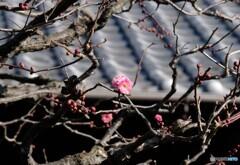 梅の開花 今朝の散歩はラッキー