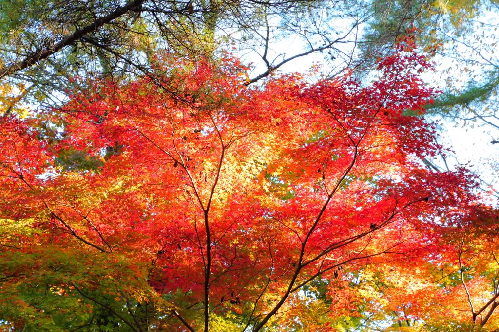 里にも紅葉@国営武蔵丘陵森林公園 赤く映える