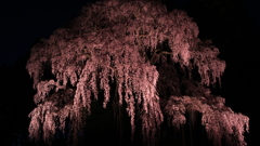 Sakura火…