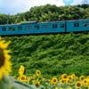 電車とヒマワリ