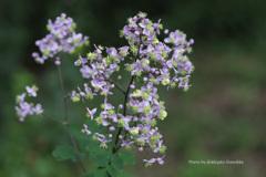 紫錦唐松(赤城自然園)