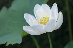太白蓮(神代植物公園)