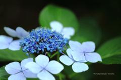 紫陽花(神代植物公園)