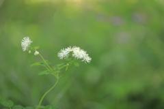 唐松草 池の平湿原