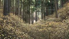 三椏の森を仰いで
