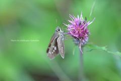 日光薊とセセリ蝶(沼ッ原湿原)