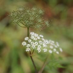 深山川芎の実と花 栂池自然園