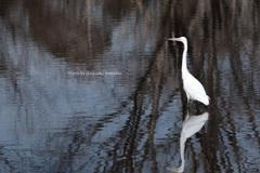 白鷺 in the pond of Monet