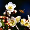 白梅とミツバチ