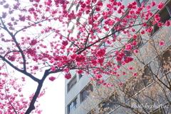 横浜関内の早咲き桜-138