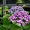 おたふく紫陽花。。