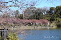 三浦海岸の河津桜-123