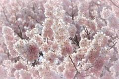 春めき桜-170